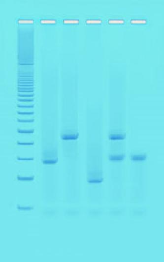 DNA fingerprinting mediante PCR