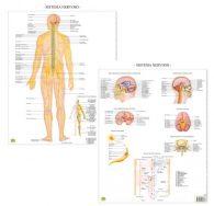 Il sistema Nervoso – Tavola scientifica da banco