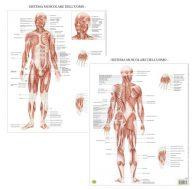 Il sistema muscolare – Tavola scientifica da banco