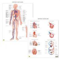 Il sistema vascolare – Tavola scientifica da banco