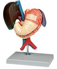Stomaco ed organi associati dell'alto addome