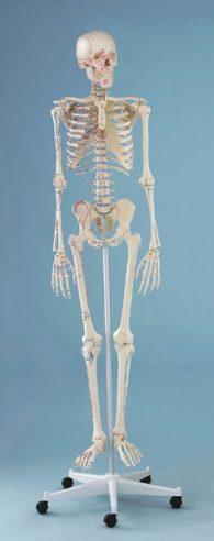 Scheletro con muscolatura marcata