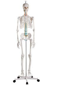 Scheletro con nervi spinali
