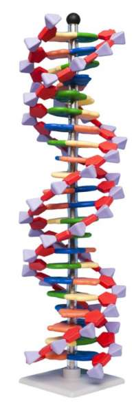 Modello DNA 22 segmenti