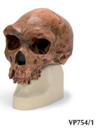 Replica di cranio Homo rhodesiensis