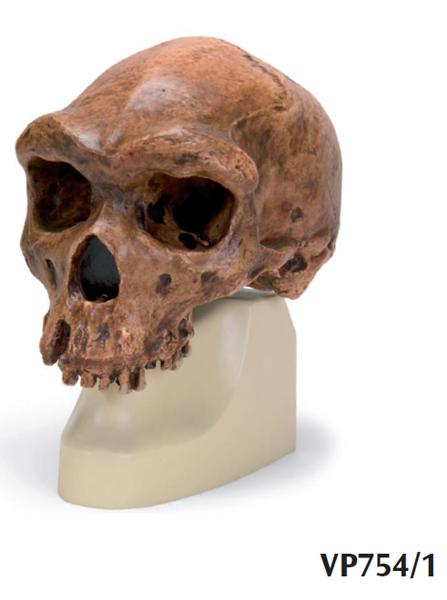 Replica di cranio H. rhodesiensis