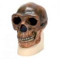 Replica di cranio H. Neanderthalensis