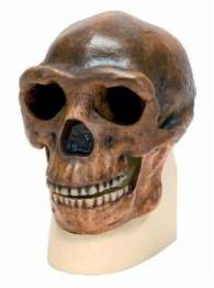 Replica di cranio Homo erectus pekinensis