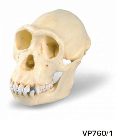 replica Cranio di uno scimpanzé