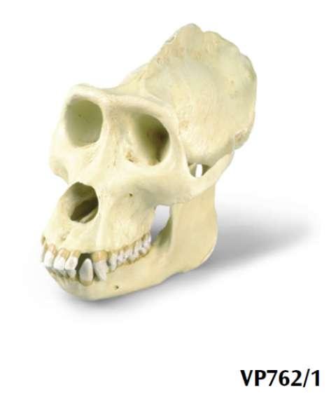 Replica di cranio di gorilla maschile