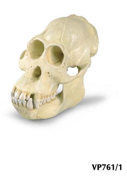 Replica di cranio di un orango maschile