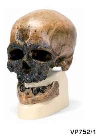 Replica di cranio Homo sapiens (Crô-Magnon)