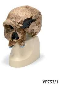 Replica di cranio Homo steinheimnensis